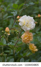 """flowers of """"Ghislaine de Féligonde"""" a rambling or climbing rose with blooming clusters in salmon apricot, orange  yellow to white, bred in France by Turbat"""