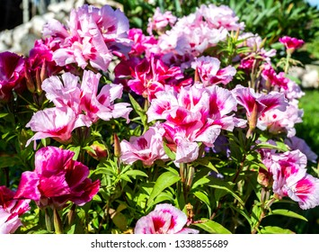 Flowers of godetia grandiflora at the garden in summer day closeup