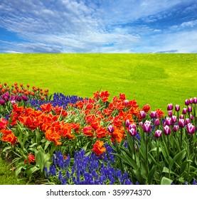 Flowers and green meadow, tulip field, blue sky