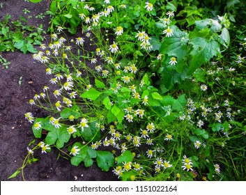 Flowers, green stem and leaves of camomile pharm that grows among herbares