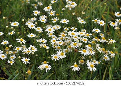 Flowers, green stem and leaves of chamomile pharm that grows among herbares