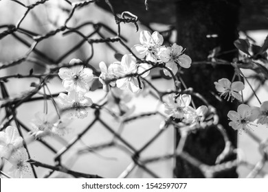 Flowers growing inside the fence - Black and white