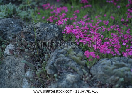 flowers growing in mountain rocks covered with moss