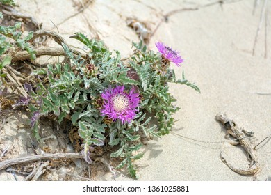 Flowers growing on the dunes of Elafonisi beach in Crete, Greece
