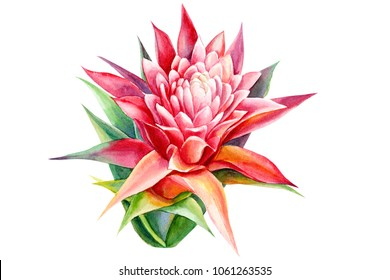 flowers guzmania watercolor illustration, hand drawing