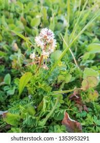 Flowers of half mignonette, Reseda media, growing in Arousa Island, Galicia, Spain