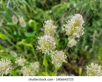 Flowers of Hare's-tail grass or bunnytail, Lagurus ovatus, growing in Galicia, Spain