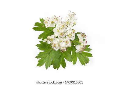Flowers of the hawthorn on branch close-up against of background of the leaves on a white background, top view