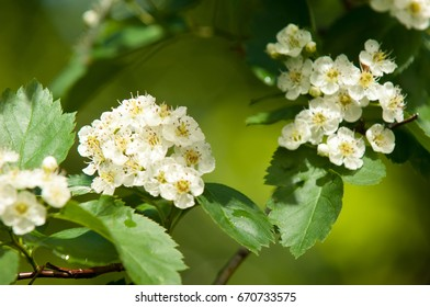 Flowers of hawthorn. Hawthorn flowers in the tree in spring.