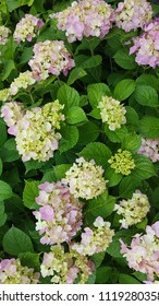 Flowers of Hortensia background