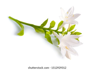 Flowers Hosta plantaginea isolated on white background.