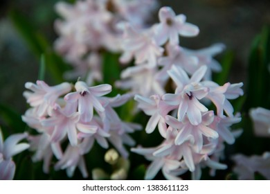 FLOWERS - hyacinths on green background