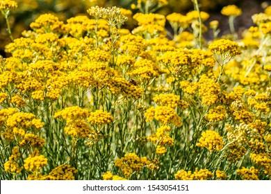 Flowers of the Italian strawflower or immortelle (Helichrysum italicum) close up.