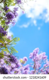 flowers of Jacaranda trees bloom with blue sky on sunny day