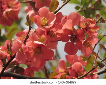 flowers of japan quince, Maules quince,