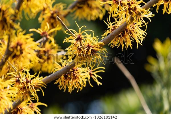 Flowers Japanese Witch Hazel Hamamelis Japonica Stock Photo Edit