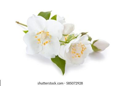 flowers of jasmine isolated on white background.