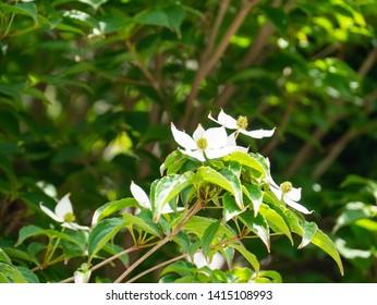 Flowers of Kousa dogwood - Cornus kousa - are bloom in Fukuoka prefecture, Japan.