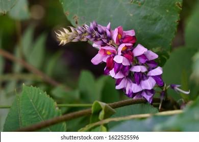 Flowers of Kudzu (Pueraria montana var. lobata)