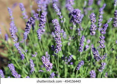 Flowers of a lavender of lilac color on long green stalks.