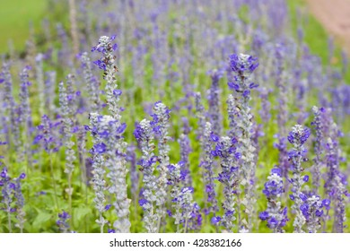 Flowers, lavender, nature, garden.