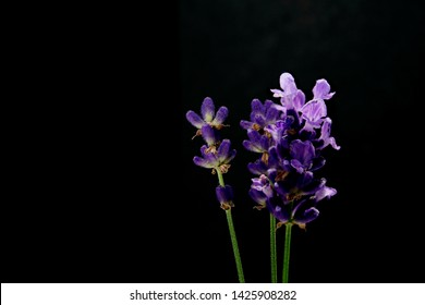 flowers of lavender on a black background