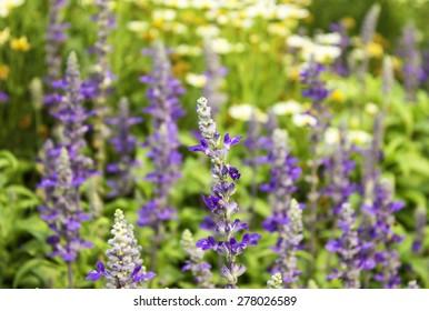 flowers lavender purple