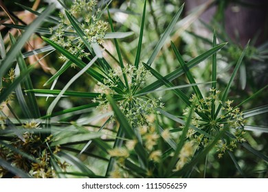 Flowers and leaf of papyrus an acquatic flowering plant, native to Africa
