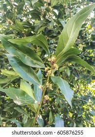 Flowers and leaves of bay laurel tree, Laurus nobilis