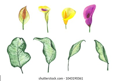 flowers and leaves of callas painted by hand in watercolor, isolated on white background