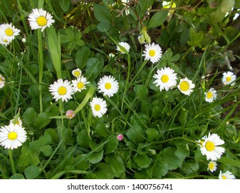 Flowers and leaves of common daisy (Bellis perennis)