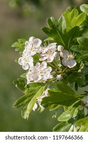 Flowers and leaves of the Common Hawthorn (Crataegus monogyna)