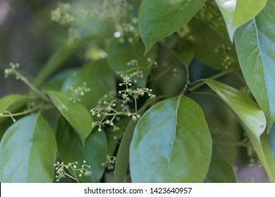 Flowers and leaves of a false camphor tree, Cinnamomum glanduliferum.