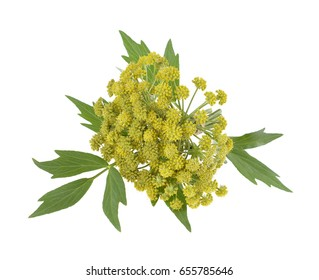 Flowers and leaves  of fresh spices (Levisticum officinale)