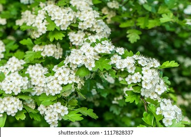 Flowers and leaves of a hawthorn shrub