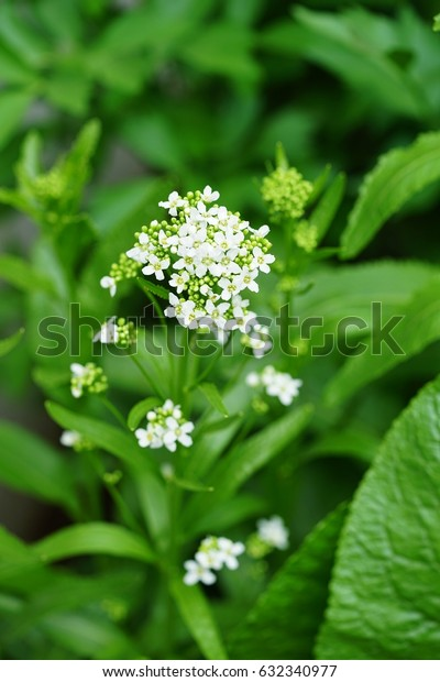 Flowers and leaves of the horseradish plant (armoracia rusticana)
