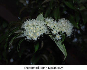 Flowers and leaves of the Lemon Myrtle tree (Backhousia citriodora) originating in rainforests of Australia and cultivated for the lemon-scented oil contained in the leaves.