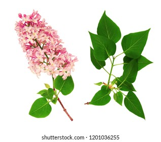 Flowers and leaves of lilac, isolated on white background