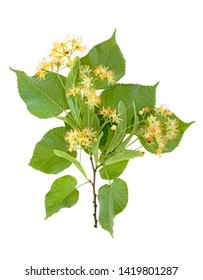 Flowers and leaves of linden isolated on a white background