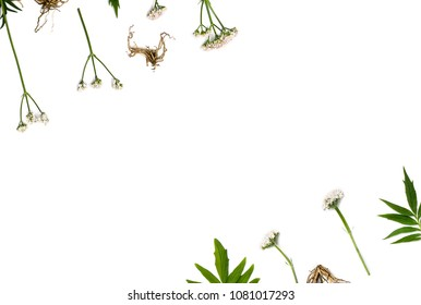 Flowers, leaves and roots Valerian (Valeriana officinalis) on white background with space for text. Other names: garden valerian, garden heliotrope and all-heal