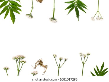 Flowers, leaves and roots Valerian (Valeriana officinalis) on white background with space for text. Other names: garden valerian, aaand all-heal