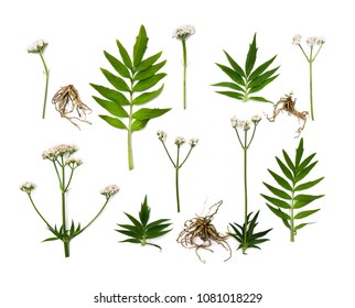 Flowers, leaves and roots Valerian (Valeriana officinalis) on white background. Other names: garden valerian, garden heliotrope and all-heal