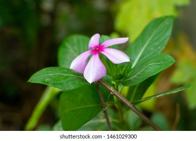 Flowers and Leaves of Rosy Periwinkle or Madagascar Periwinkle Plant with natural bokeh