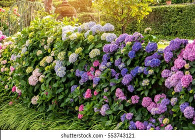 Flowers, leaves and sunlight. Pink and purple hydrangeas. Breathe in aroma of spring.
