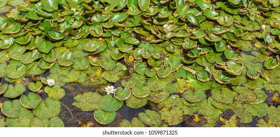 The flowers and leaves of water lilies thickly cover the surface of the water.