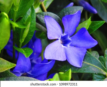 flowers of lesser periwinkle, Vinca minor,