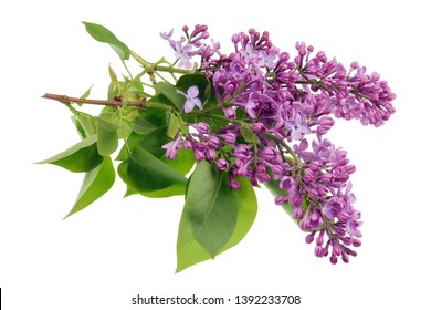 Flowers of light purple real lilac on small branches with leaves. Isolated on white studio macro background