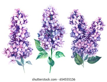 Flowers lilac  botanical illustration on isolated background watercolor