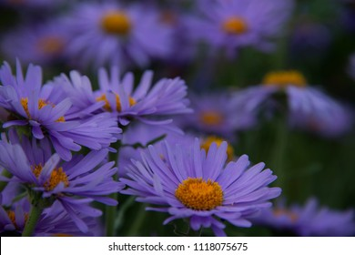 FLOWERS: lilac camomiles - a dark background