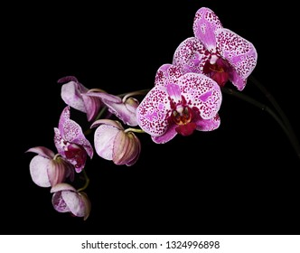 Flowers of a lilac orchid on black